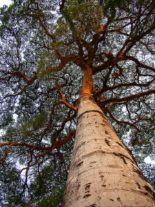 brazilian cherry tree - jatoba